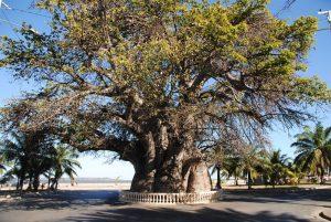 madagascar-majunga-vieu-baobab
